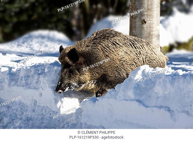 Wild pig (Sus scrofa) boar running in deep snow in pine forest in winter
