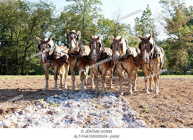 Horses pulling plow in field