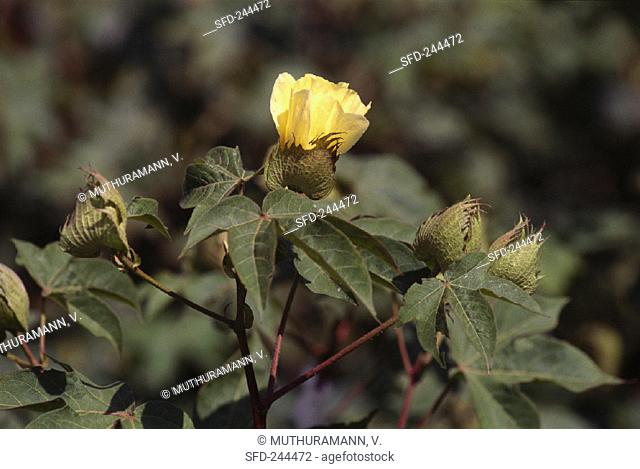 Cotton plants with yellow flowers