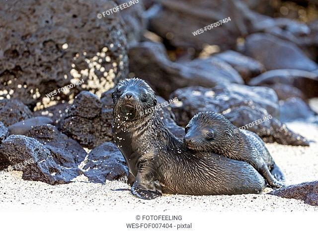 Ecuador, Galapagos Islands, Santa Fe, two young wet sea lions on sand