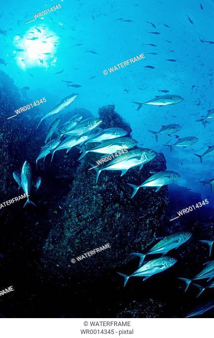 Bigeye trevally, Caranx sexfasciatus, Pacific Ocean, Galapagos, Ecuador