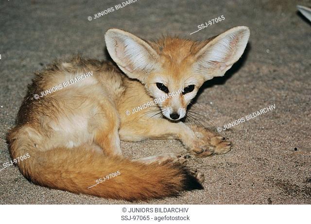 fennecus zerda / vulpes zerda / fennec fox
