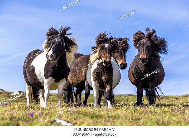 Shetland Pony Four curious mares on a meadow Unst, Shetlands