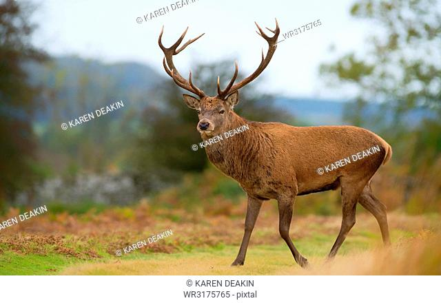 Red deer stag, Bradgate Park, Charnwood Forest, Leicestershire, England, United Kingdom, Europe