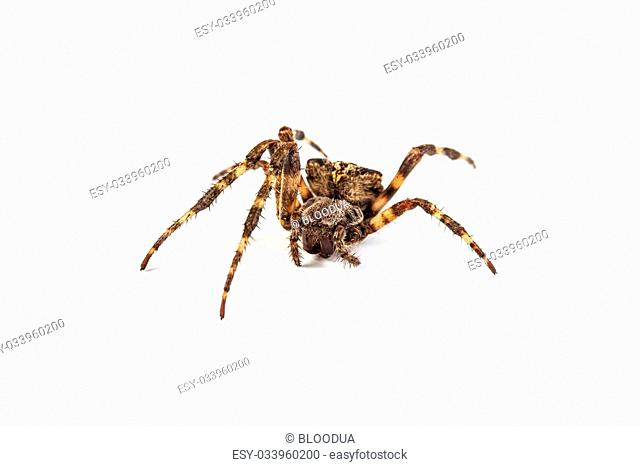 Big brown spider on a whtie background