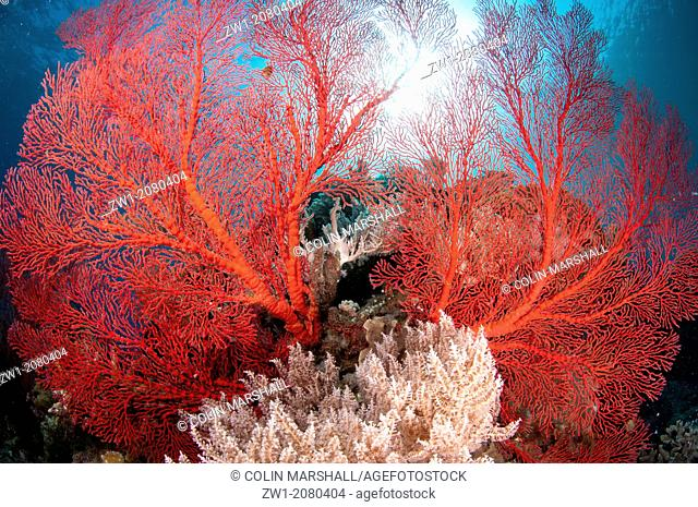 Red Sea Fan with sun in background at Komba Island near Alor Indonesia