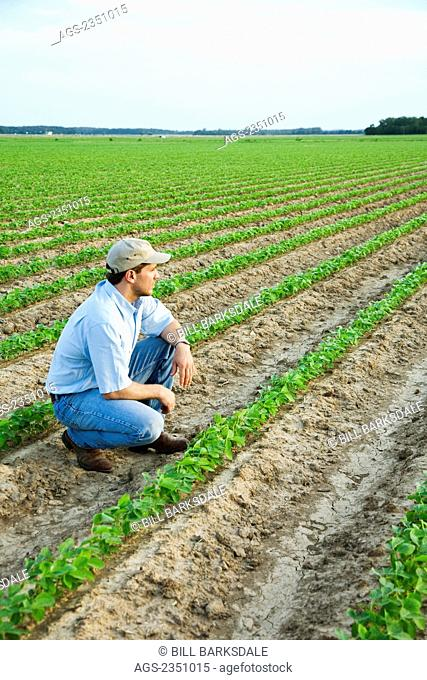 Agriculture - A farmer (grower) squatting down and looking out across his field inspecting his early growth crop of soybeans / Northeast Arkansas, USA