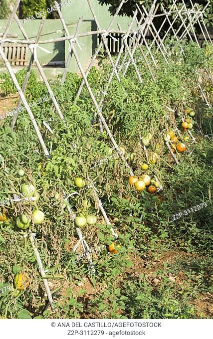 Tomatoes growing at orchard Alicante Spain