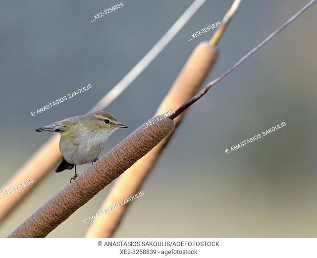 Chiffchaff - Phylloscopus collybita, Greece