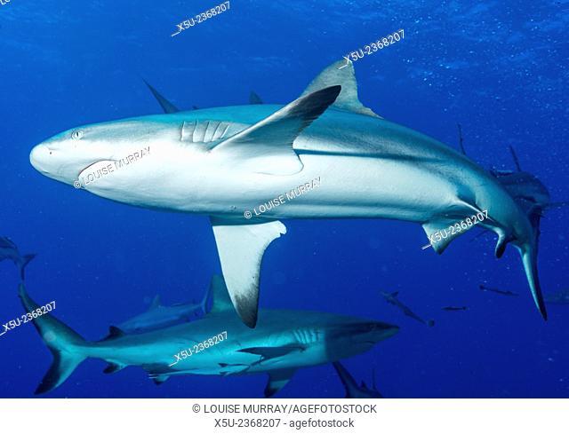 Whitetip reef shark, Triaenodon obesus is a requiem shark in the genus Carcharinidae