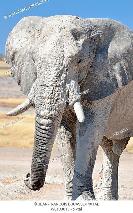 African elephant (Loxodonta africana), adult male covered with dry mud at waterhole, Etosha National Park, Namibia, Africa