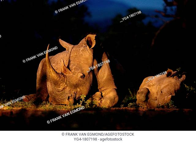 White Rhinoceros Ceratotherium simum  Endangered species  Near Threatened   A mother and calf lay down beside each other  Rhino poaching has been rampant in...