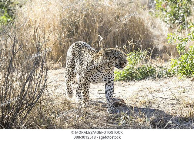 Africa, Southern Africa, South African Republic, Mala Mala game reserve, savannah, African Leopard (Panthera pardus pardus), walking in the savannah