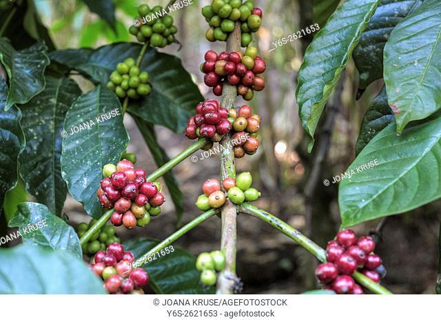 coffee berries on a shrub in Periyar, Thekkady, Kerala, South India
