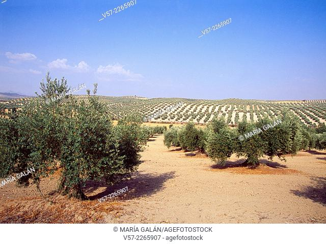 Olive groves. Vega de Granada, Granada province, Andalucia, Spain