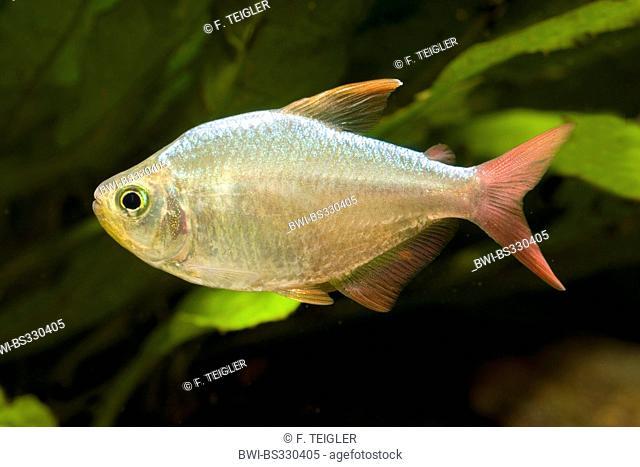 Columbian tetra (Hyphessobrycon columbianus), swimming
