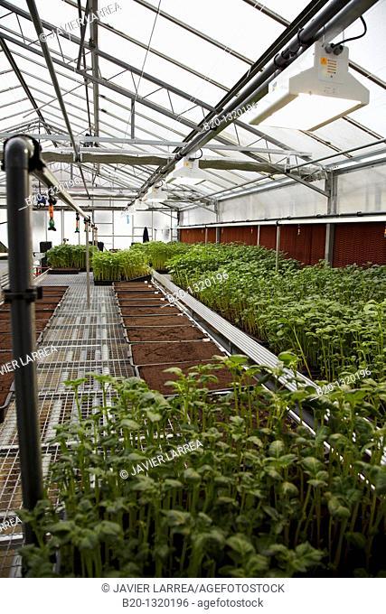 Greenhouse, agricultural research, potato plants, Neiker-Tecnalia, Arkaute, Alava, Euskadi, Spain