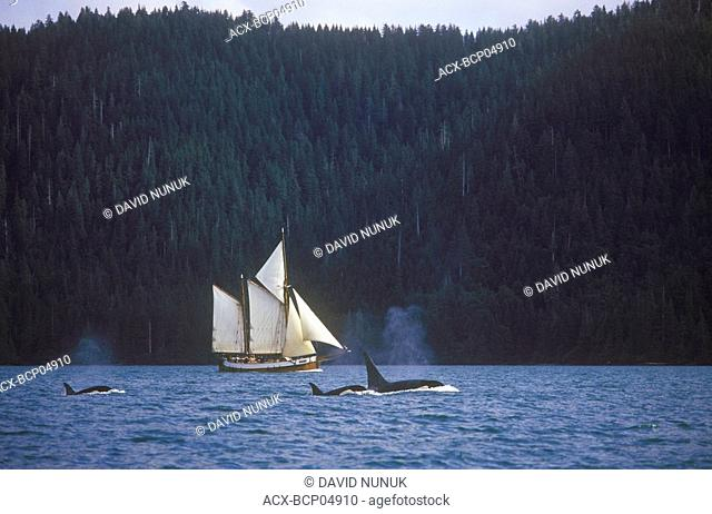 Sailboat and orcas, South Moresby, Gwaii Haanas National Park, British Columbia, Canada