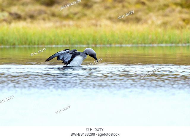 black-throated diver (Gavia arctica), lands on the water, Norway, Lofoten Islands