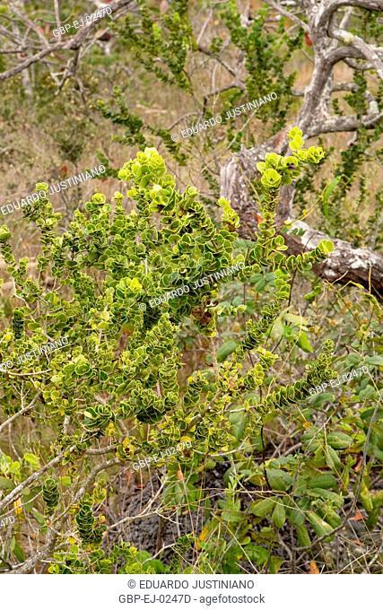 Plant, Pinheirinho-roxo, São Gonçalo do Rio Preto, Minas Gerais, Brazil