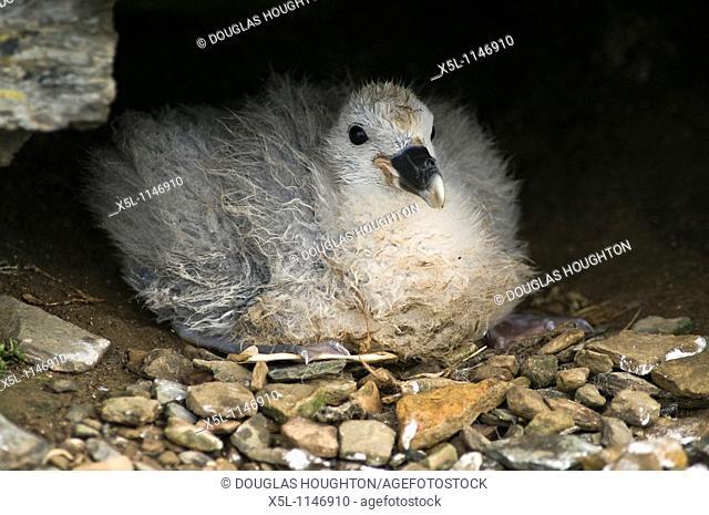 Fulmar BIRDS ORKNEY Fulmar Fulmarus glacialis baby chick nest North Ronaldsay Orkney