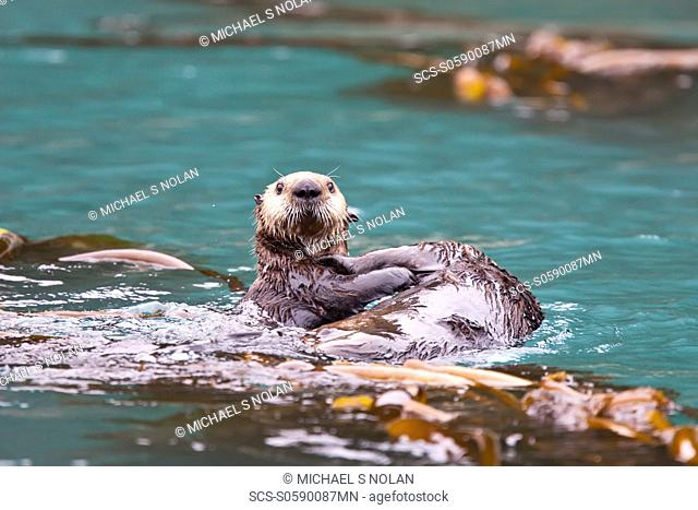 Adult sea otter Enhydra lutris kenyoni mother and pup in Inian Pass, Southeastern Alaska, USA Pacific Ocean MORE INFO: This sub-species ranges from the Aleutian...