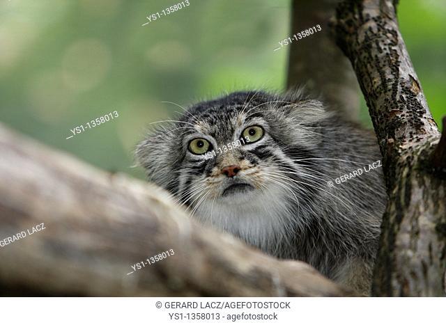 MANUL OR PALLAS'S CAT otocolobus manul, PORTRAIT OF ADULT