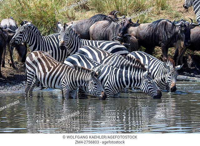 Wildebeests, also called gnus or wildebai, and Plains zebras (Equus quagga, formerly Equus burchellii) also known as the common zebra or Burchell's zebra...