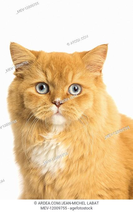 Ginger Alley cat in the studio