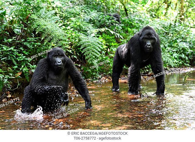 Mountain gorilla (Gorilla beringei beringei) drinking in a mountain stream. Bwindi Impenetrable Forest National Park, Uganda, Africa