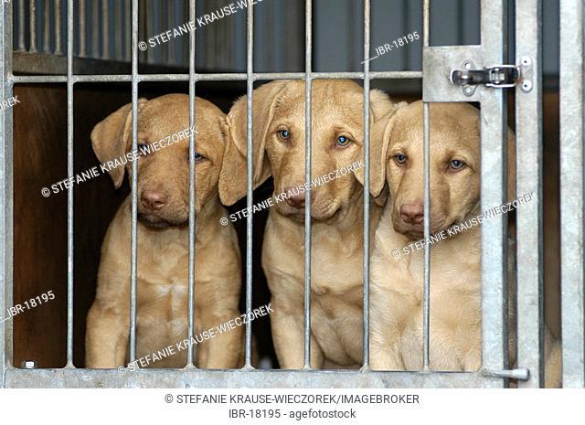 Three Chesapeake Bay Retriever puppies in a kennel