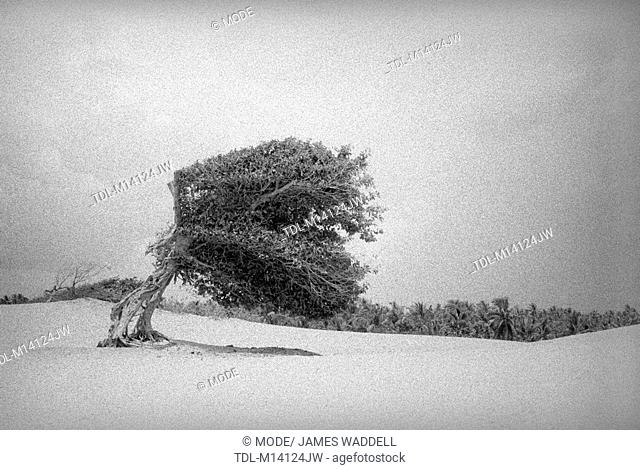 A windblown tree on sand dunes