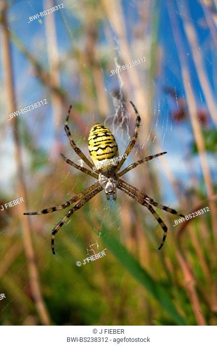black-and-yellow argiope, black-and-yellow garden spider Argiope bruennichi, in its nest, Germany, Rhineland-Palatinate