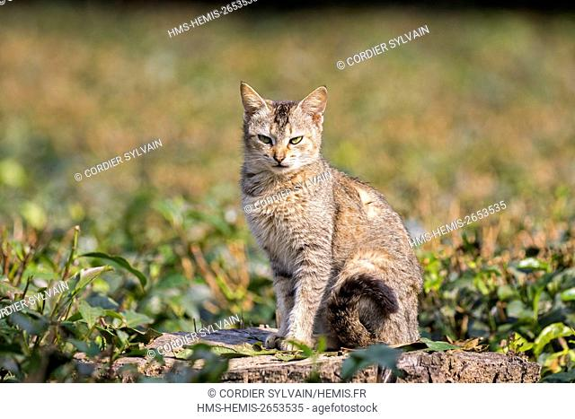 India, Tripura state, domestic cat