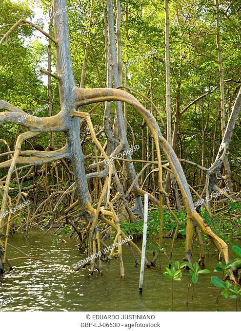 Growth of mangroves, Canavieiras, Bahia, Brazil