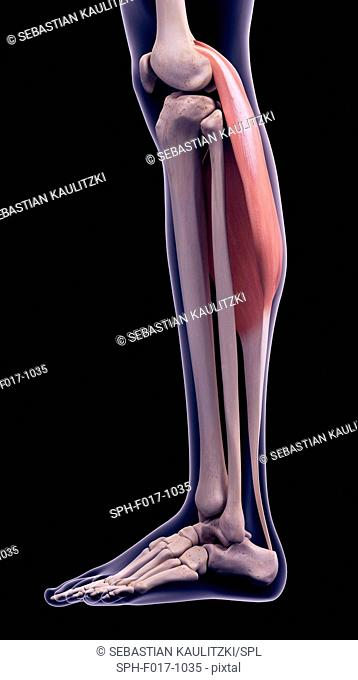 Illustration of the gastrocnemius muscle