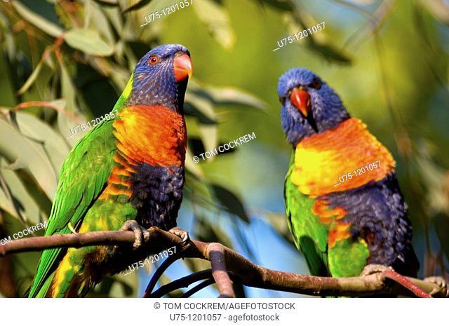 rainbow lorikeet, Blackburn, Melbourne, Australia