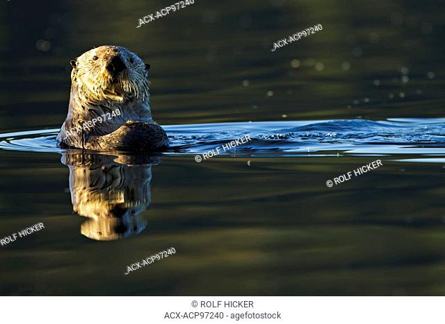 Sea otter, Enhydra lutris, belongs to the weasel family, photographed of the west coast of northern Vancouver Island, British Columbia, Canada