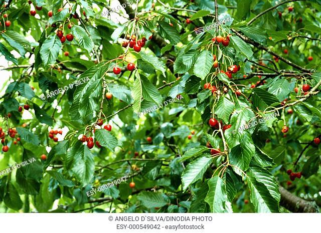 Fruits , cherry on tree