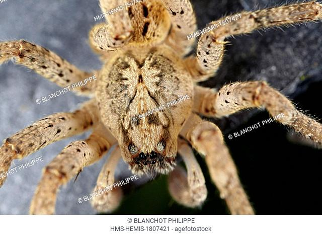 France, Pyrenees Atlantiques, Araneae, Zoropsidae, Mediterranean wandering wolf spider or Garage spider (Zoropsis spinimana), male