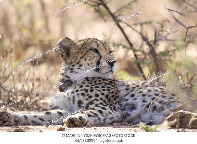 Watchful male cheetah, Okonjima Nature Reserve, Namibia