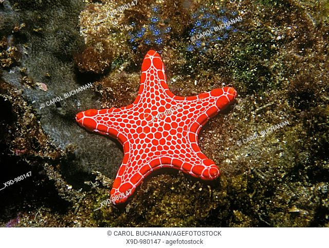 A Vermillion Biscuit Starfish, Pentagonaster duebeni  Solitary Islands, Coffs Harbour, east coast NSW, Australia  Pacific Ocean