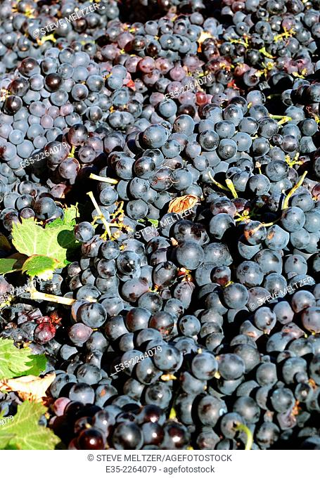 A load of handpicked grapes harvested in September in the South of France