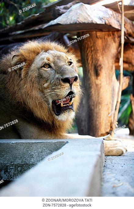 Big lion showing who is the king. Bali a zoo