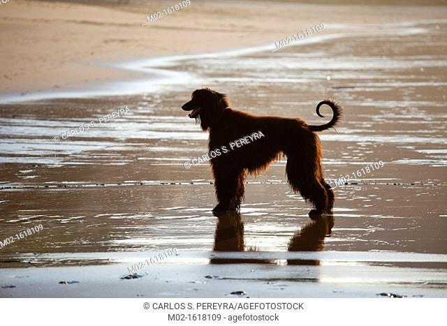 Afghan dog in the beach of Deba, Guipuzcoa, Basque Country, Spain