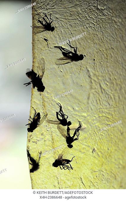 Houseflies, Musca domestica, stuck to fly paper, UK