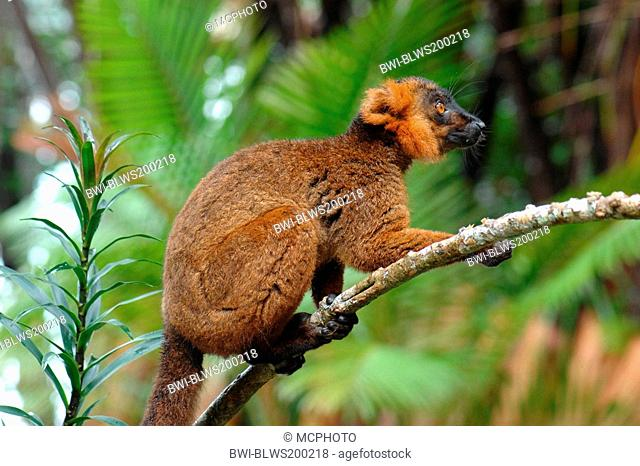 black lemur Eulemur macaco, Lemur macaco, hybrid between black lemur and crowned lemur, Madagascar