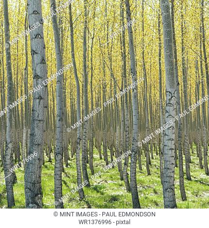 Rows of commercially grown poplar trees on a tree farm, near Pendleton, Oregon. Pale bark and yellow and green leaves