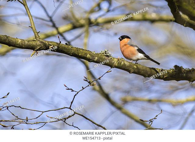 Germany, Saarland, Bexbach - A eurasian bullfinch is searching for fodder