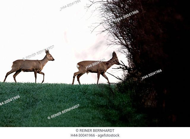 Capreolus capreolus, field roe deer, spring, nature, cloven-hoofed animal, roe deer, roe deer, roe deer at the end of March, roe deer on the field